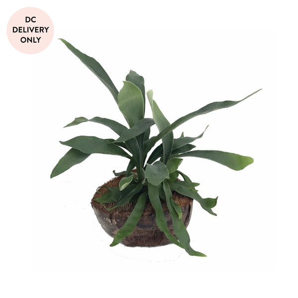 Coconut Staghorn Fern