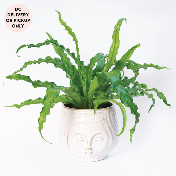 Small Potted Birdsnest Fern