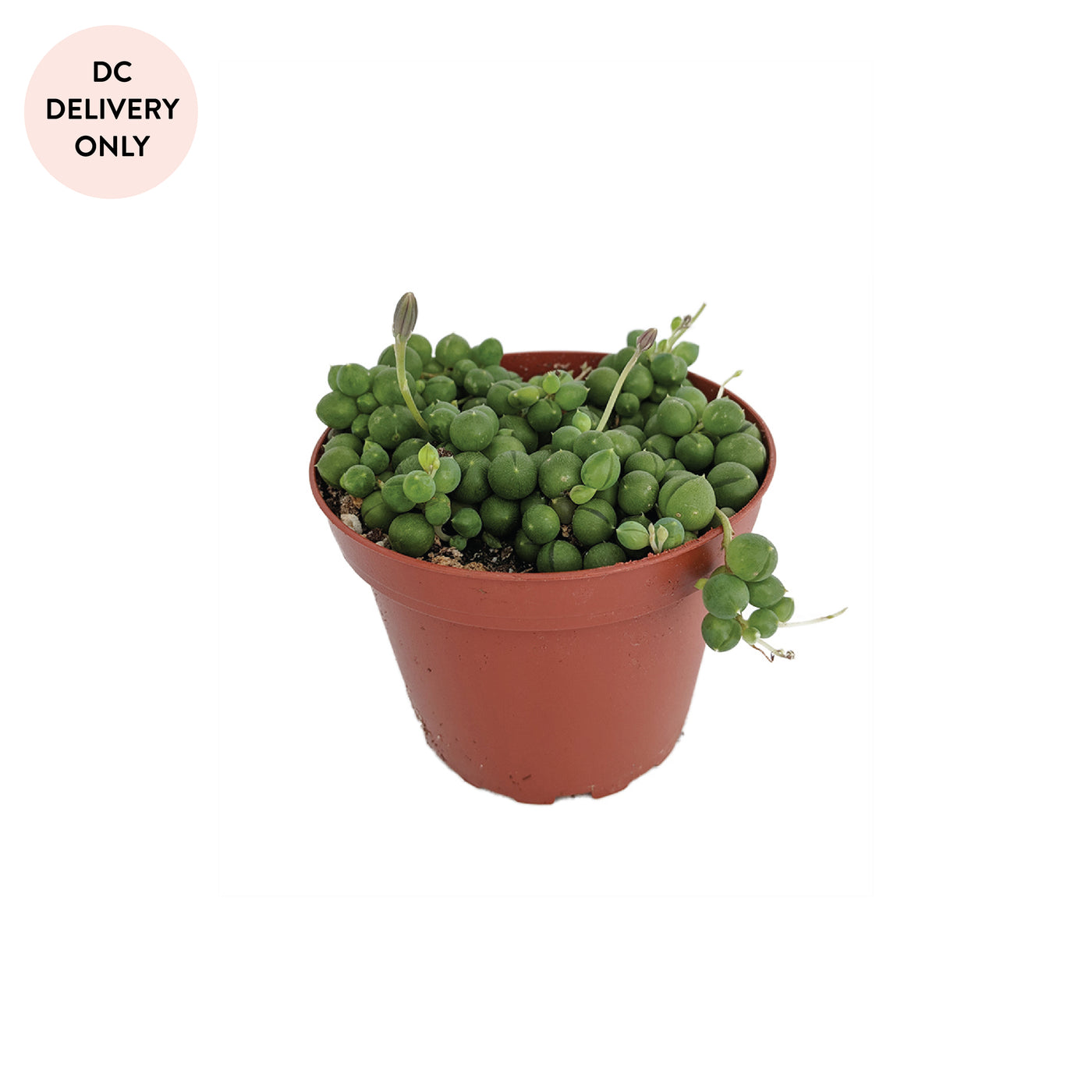 Extra Small String of Pearls Plant