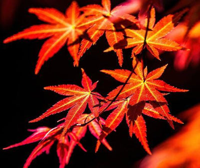 100% True Japanese Red Maple Bonsai Tree Cheap Seeds Professional Pack Very Beautiful Indoor Tree 50 Seeds / Pack
