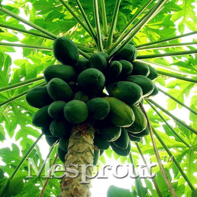 100%True Papaya(Carica papaya) seeds. dwarf organic sweet papaya seeds in Bonsai,25pcs/bag Rare fruit seeds edible Carica papaya