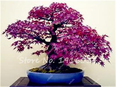 100% True Japanese Purple Maple Bonsai Tree Cheap Seeds for Indoor Plant Can Put on Office Desk, 10Pcs/Pack, Natural Growth