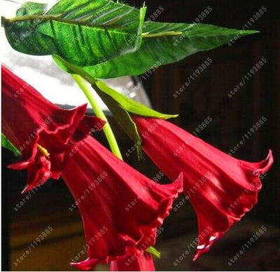 100pcs datura flower datura seeds dwarf Brugmansia suaveolens Flamenco angel's Trumpets planting datura exotic seeds for garden  UpCube- upcube