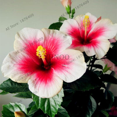 100pcs/bag Dinnerplate Hibiscus seeds Perennial Flower seeds home& garden plant use10-12 Inch Flowers 24 mixed Colors  UpCube- upcube