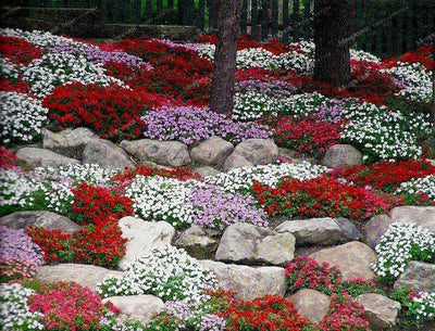 100Pcs/Bag Creeping Thyme Seeds Or Blue ROCK CRESS Seeds - Perennial Ground Cover Flower Natural Growth For Home Garden  UpCube- upcube