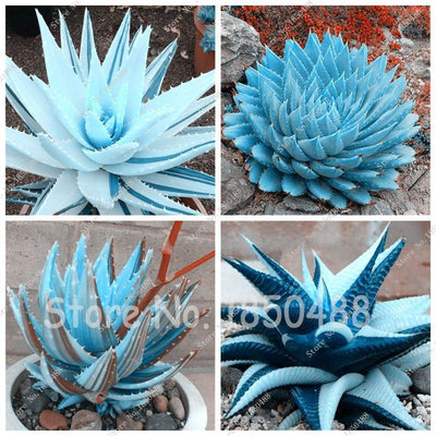 100pcs Blue Succulents Seed Plant Aloe Vera Seeds Edible Beauty Edible Cosmetic Bonsai Plants Seeds Perennial Flowers Garden  UpCube- upcube
