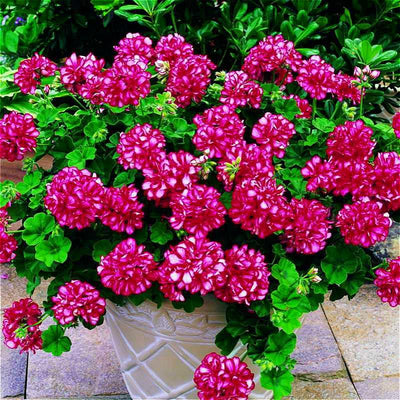 100pcs Rare Geranium Seeds Chinese Rare Pelargonium Perennial Flower Seeds Hardy Bonsai Potted Plants Sementes Free Shipping  UpCube- upcube