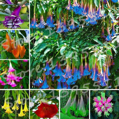 100pcs Bonsai flower Brugmansia Datura seeds Rare flower seeds Potted plants Home & Garden Free Shipping  UpCube- upcube