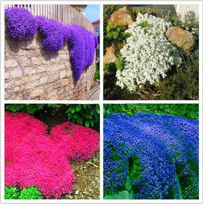 100pcs/bag Creeping Thyme Seeds or Blue ROCK CRESS Seeds - Perennial Ground cover flower ,Natural growth for home garden  UpCube- upcube