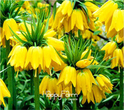 Best-Selling!10 Pcs/Lot Yellow Imperial Crown Seeds imperialis Lutea Seeds Easy To Grow Home Garden Ground Cover Plant,#TTCF7S  UpCube- upcube