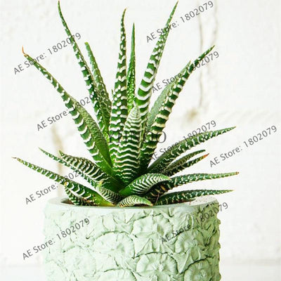 100pcs Succulents Seed Plant,Aloe Vera Seeds,Beauty Edible Cosmetic Bonsai Plants Seeds Perennial Flowers Garden  UpCube- upcube