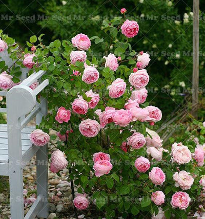 100pcs Rare English Rose Seeds Flower seeds semenatsvety perennial garden bonsai flower plant White roses  UpCube- upcube
