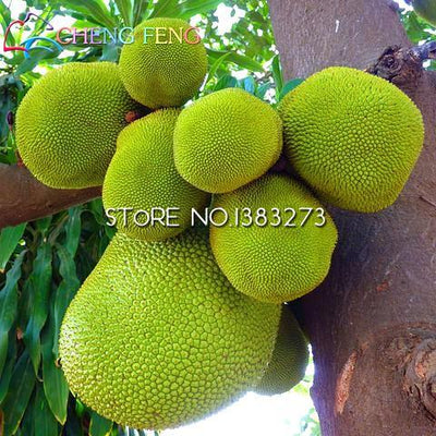 100pcs Delicious Organic Jackfruit Seeds Nutritious Fruit Seeds For Home & Garden Free Shipping  UpCube- upcube