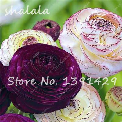 Best-Selling! 100 Pcs Garden Pots Planters Ranunculus Asiaticus Flower Seeds, Indoor Bonsai Plants, Natural Growth  UpCube- upcube