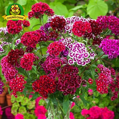 100%True American Dianthus Seeds 200pcs/bag Mixed Colours Sweet William Bonsai Mix colors flower seeds indoor plants home garden