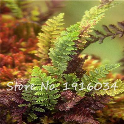 100Pcs Colorful Fern Seeds Rare Creeper Vines Grass Mixed Foliage Plants Bonsai Exotic Plant for Flower Pots Planters hot sale  UpCube- upcube