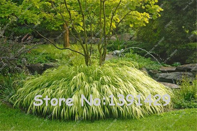 1000 pcs Golden Japanese Forest Grass Seeds, Perennial Evergreen Lawn Seeds, Beautiful Garden Ornamental Plant, Easy to Grow
