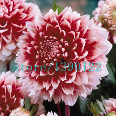 100pcs Dinner Plate rainbow Dahlia seeds, Chinese Peony bonsai flower seeds ,22 colors to choose, for home garden plantting  UpCube- upcube