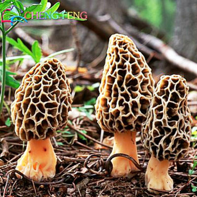 100pcs A Variety Of Mixed Morel Mushroom Strains Geesteranus Vegetable Seed Bonsai Plants Diy Garden Interest Free Shipping  UpCube- upcube