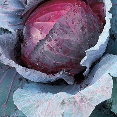 100%True Cabbage Seeds Organic Red Cabbage Vegetable Seeds Brassica oleracea Easy to Grow High-Quality Vegetable 100seeds/bag