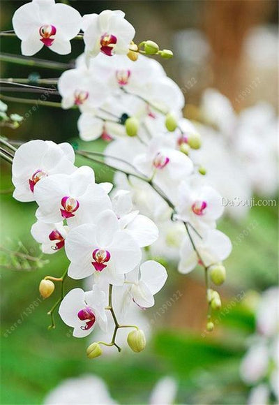 100pcs Cymbidium orchid,Cymbidium seeds,bonsai flower seeds,22 colours to choose,plant for home garden  UpCube- upcube