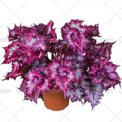 100pcs/bag Beautiful Begonia Flower Seeds Flowers Potted Bbonsai Garden Courtyard Balcony Coleus Seeds for Home Garden  UpCube- upcube