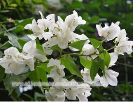 100pcs / bag ,Bougainvillea seeds, potted seeds, flower seeds, variety complete, the budding rate 95%, (Mixed colors)  UpCube- upcube