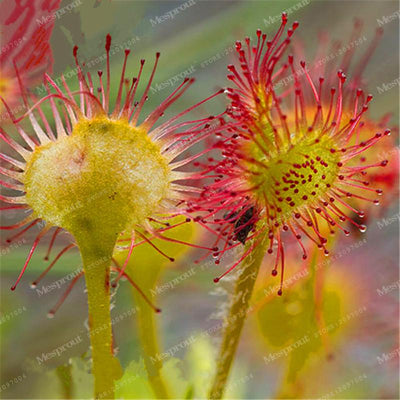100PCS Sundew Seeds Carnivorous Plants Potted Plant Seeds Flytrap Seeds Radiation Protection Plant For Home Garden Free Shipping  UpCube- upcube