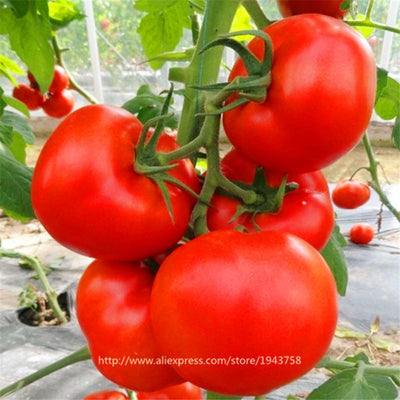 100pcs Big red tomato seeds, potted vegetable seeds, Heirloom Open Pollinated Tomato Seeds vegetable seeds,Extra-tasty,large  UpCube- upcube