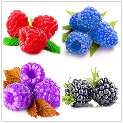 1000pcs rare raspberry seeds organic fruit seeds green red blue purple black raspberry seeds for home garden plant easy to grow  UpCube- upcube