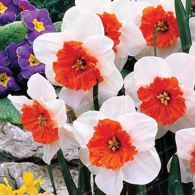 Best-Selling!Beautiful Narcissus Flower Balcony Plants Daffodil Seeds Absorption Radiation Narcissus Tazetta Seeds,100 PCS  UpCube- upcube