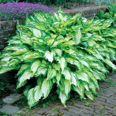 100pcs Hosta Seeds Perennials Plantain Lily Flower White Lace Home Garden Ground Cover Plant Home Garden Ground Cover Plant Seed  UpCube- upcube