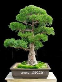 100% True Sacred Japanese Cedar Professional Pack 10 Pcs Semillas Bonsai Seeds