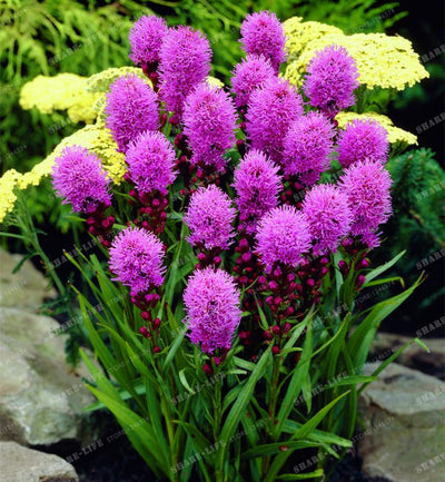 100pcs Liatris Spicata Seeds Bonsai Plant Flower Seeds For Garden Supplies Mixed Color,Perennial Native Wildflowers Home Garden  UpCube- upcube