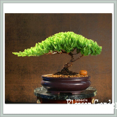 Best-Selling!10 Pieces/Pack juniper bonsai tree potted flowers office bonsai purify the air absorb harmful gases,#Q9VSED  UpCube- upcube