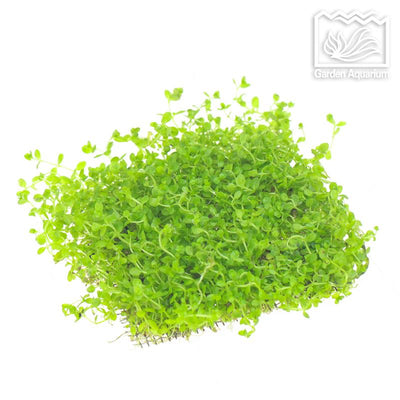 1000 Pcs/bag Mini Dwarf Pearl Plants Aquarium Grass Seeds Fish Tank Decoration Ornamental Aquatic Plants Seeds for home garden