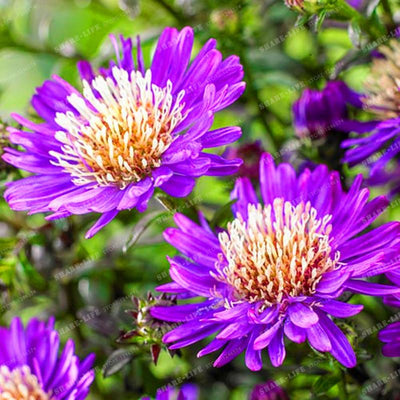 100pcs Cute Aster Chrysanthemum Seeds (Callistephus)Bonsai Plant Give You a Garden Full of Bright Summer big Flowers Home Garden  UpCube- upcube