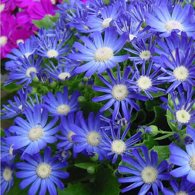 100pcs Blue Daisy Cineraria flower bonsai easiest growing flower hardy plants exotic ornamental seed of perennial garden flower  UpCube- upcube