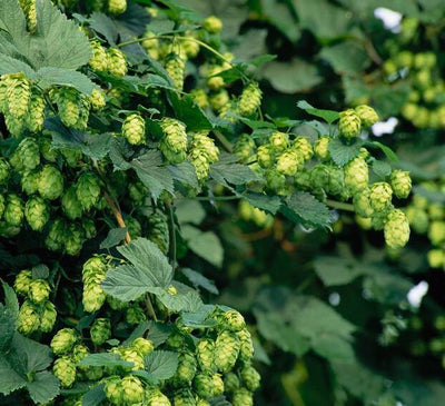 100/bag Hops Humulus Lupulus Seeds Brew Your Own Beer Today - Returns Year After Year - Plants Form Rhizomes