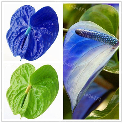100pcs Rare Flower Seeds Anthurium Seeds Anthurium Andraeanu bonsai plant Seeds Potted Flower Seeds for Home Garden  UpCube- upcube