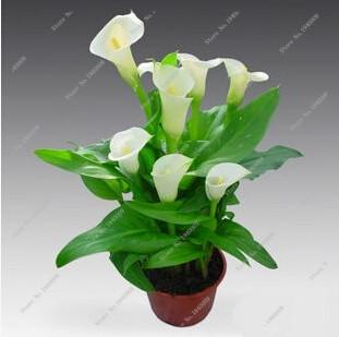 100Pcs Calla Lily Seeds,Rare Plants Flowers,Room Flowers Rhizome Zantedeschia Aethiopica, Bonsai Houseplants Home Garden Palnt  UpCube- upcube