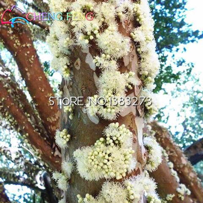 100pcs Edible Good Taste Jabuticaba Seeds Healthy Fruit Seeds Indoor&outdoor Bonsai Free Shipping  UpCube- upcube