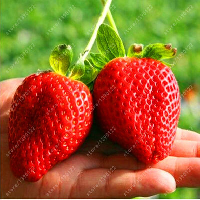 1000 pcs/bag climbing strawberry seeds giant strawberry orangic fruit and vegetable seeds for home garden NO-GMO strawberry tree