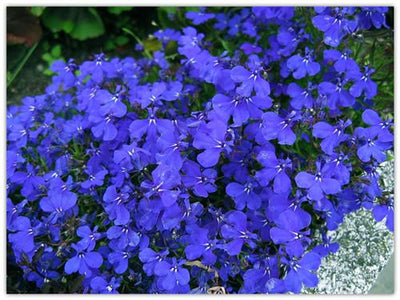 100%true lobelia seeds Rare indoor flower seeds in Bonsai,Chlorophytum flower seeds for Perennial Home Garden Plants100pcs/bag