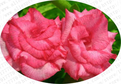 100% true Desert Rose Seeds Ornamental Plants Balcony Bonsai Potted Flowers Seeds Adenium Obesum Seed - 5 Particles / lot