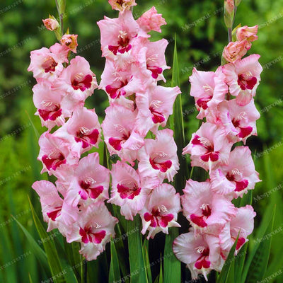 100pcs MIX Colors Gladiolus Seeds Beautiful Gladiolus Flower Bonsai Flower Potted Plant for Home Garden Free Shipping  UpCube- upcube