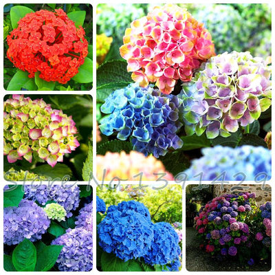 100pcs/ bag hydrangea seeds, mixed colors, potted balcony, planting is simple, budding rate of 95%, radiation absorption  UpCube- upcube