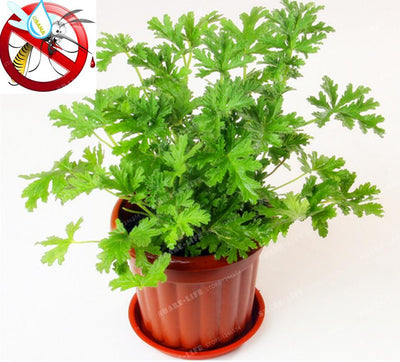 100PCS Mosquito Repelling Grass Seeds Home Garden Plant Easy planting Indoor Garden & Home Bonsai Pelargonium graveolens Plant  UpCube- upcube
