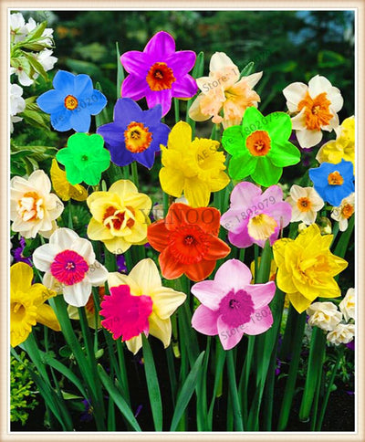 100pcs flower daffodil,daffodil seeds(not daffodil bulbs)bonsai flower seeds aquatic plants double petals Narcissus garden plant  UpCube- upcube