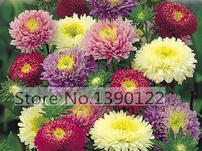 100/bag rare flower aster seeds CALLISTEPHUS CHINENSIS stunning mixed color flower seeds for home garden decoration